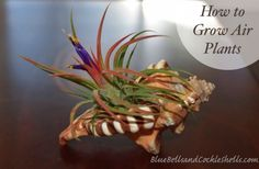How to Grow Air Plants | from Blue Bells and Cockle Shells