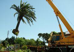 Fornecimento de plantas grandes para paisagismo.