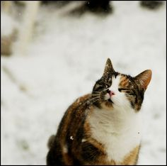 Feel snow by lynnlin on Flickr.   This kitty looks a lot like mine! :)