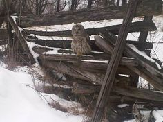 Great picture near us in Sharbot Lake, Ontario - stunning Barn Owl
