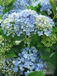 AYESHA hydrangea!  I received two of these plants for Mother's Happy Day! :o) ♥