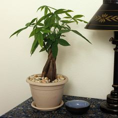 These houseplant varieties are very forgiving and low maintenance, making them perfect for beginner home gardeners. Pachira Aquatica, Easy To Grow Houseplants, Easy Care Plants, Best Indoor Plants, Peace Lily, Outdoor Crafts, Low Maintenance Garden, Natural Garden