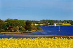 Farbspiel in gelb und blau ? am Ostseefjord Schlei blüht bald wieder der Raps FOTO: Ingo Lau