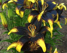'Lionheart' - Asiatic Hybrid Lily Lillys will grow with Black Walnut Trees Garden Bulbs, Planting Bulbs, Planting Flowers, Beautiful Gardens, Beautiful Flowers, Asiatic Lilies, Calla Lillies, Dutch Gardens, Lily Garden