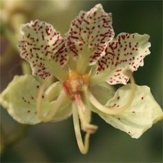 """(These are synonyms.)   The tree is from India. Perhaps the most """"orchidlike"""" of all orchid trees."""
