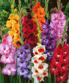 How To Grow Gladiolas, my favourite garden flower!                                                                                                                                                      More
