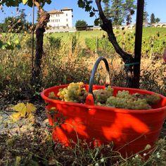 #Harvest 2015 started! Today we are collecting Chardonnay grapes to produce #armason and #beneficio#labollina ! #wine#winery#villalabollina #bollinagolosa #wein #winegram #winelovers #monferrato #piedmont #vinho