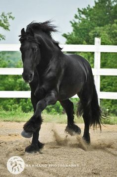 Black Friesian Doing Some Fancy-Stepping in His Corral.