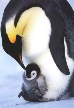 Mum and baby Penguin