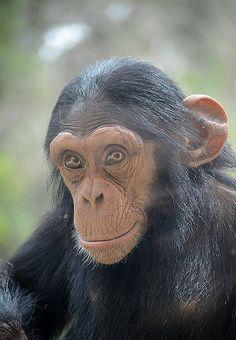 Baby Chimpanzee Portrait by amirpaz, via