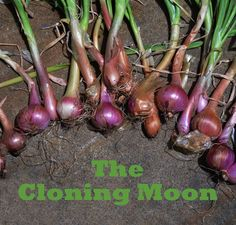 Moon in Aquarius Moon in air sign, Aquarius is described as being barren and dry, which makes it ideal for culling weeds and pests, and, harvesting fruit and root crops. Cloning and assexual reproductive processes are also under the rulership of Aquarius, so these practices are recommended with the Aquarius moon. In her book Moon Gardening, Lunar Gardener, Louise Riotte says Moon in Aquarius also benefits the planting of Alliums and Pine trees.