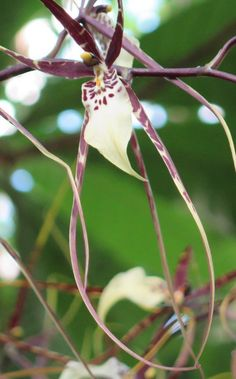 Bratonia Kaui's Choice-note the long petals. NYBG Orchidelirium
