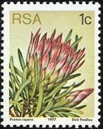 Protea repense