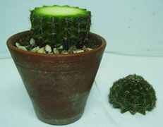 """Propagate cactus and succulents including """"babies"""""""