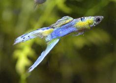 Platinum Japan blue Double Sword