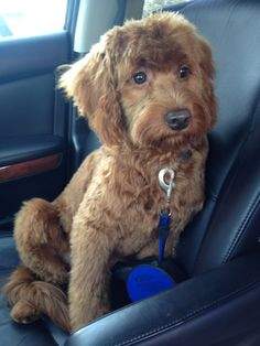 Just saw a  large white one of these today.  So cute!  His ears were so long!  #goldendoodle