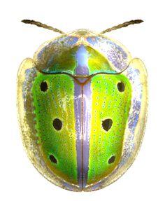 Chiridopsis bipunctata