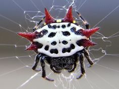 Spiny orb-weavers is a common name for Gasteracantha, a genus of spiders. They are also commonly called Spiny-backed orb-weavers, due to the prominent spines on their abdomen. These spiders can reach sizes of up to 30mm in diameter. Wikipedia Scientific name: Gasteracantha Rank: Genus Lower classifications: Gasteracantha fornicata, More