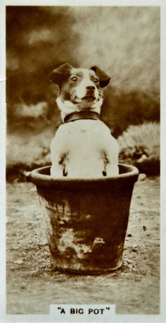 A Jack Russell in a Flower Pot Antique Photos, Vintage Pictures, Vintage Photographs, Old Pictures, Vintage Dog, Old Dogs, Jack Russell Terrier, Little Dogs, Dog Photos
