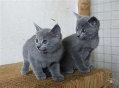 blue russian kittens  so cute...looks like mira but she cant be one. since both her parents werent