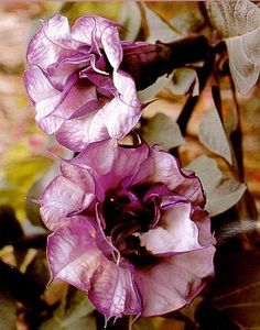 Black Angel Trumpet Datura