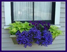 Sweet potato vine + lobelia in a window box.