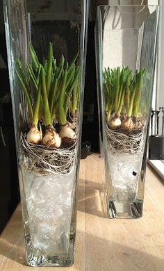Spring - large glass vases with small narcissus on cellophane film - bijonsinterieur