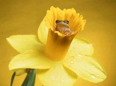 tiny frog in a daffodil