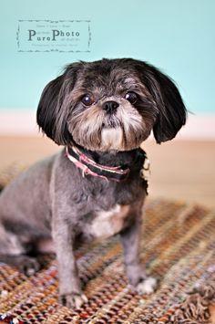 Shih Tzu puppy cut...looks like buff after a haircut