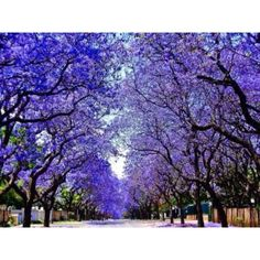 //Jacarandas Walk, South Africa / 50 Most Breathtaking Places to Visit Before You Die Places Around The World, Around The Worlds, Lavender Blossoms, Street Trees, Argentine, Tree Seeds, Funchal, Flowering Trees, Mexico City