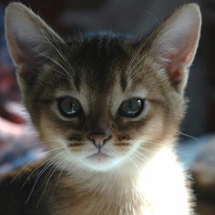 abyssinian kitten, I want one sooo bad but they're so expensive