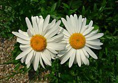 #asteraceae #blooming #blossom #chrysanthemum leucanthemum #common daisy #daisy #dog daisy #flora #flower #leucanthemum vulgare #moon daisy #nature #ox eye daisy #oxeye daisy #petals #plant #spring #summer #white #y