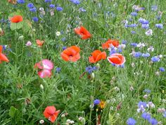 Poppies, cornflower, clover, etc. Apricot Tree, Mountain Rose, Field Of Dreams, Garden Spaces, Wallpaper Downloads, Live Wallpapers, Wild Flowers, Poppies, Beautiful Pictures