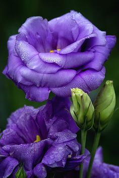 Lisianthus --- The first thing lisianthus plants are known for are their beautiful bell-shaped flowers. Unfortunately, the second thing lisianthus plants are known for is being notoriously difficult to cultivate Exotic Flowers, Amazing Flowers, My Flower, Purple Flowers, Flower Power, Beautiful Flowers, Beautiful Gorgeous, Flowers Pics, Flower Colors