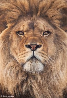 It Insight Us — Lion by stevemackayphotography