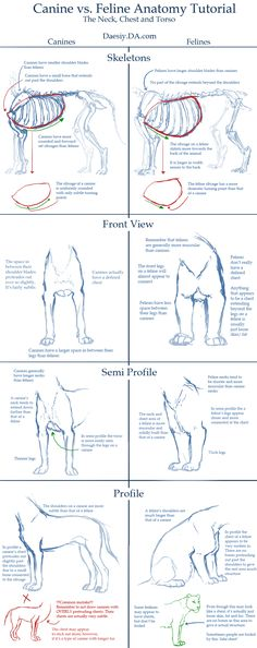 Canine v Feline Chest Anatomy Tutorial by ~Daesiy on deviantART