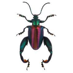 Sagra buqueti - Frog-legged Leaf Beetle