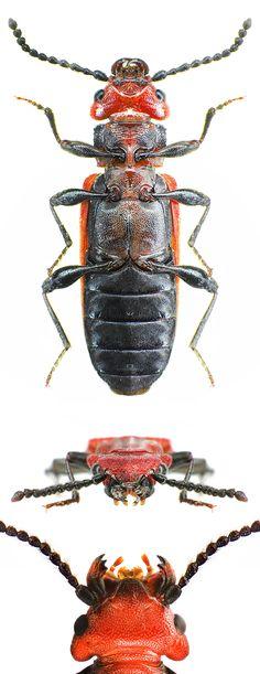 Cucujus cinnaberinus, ventral view, detail of the head