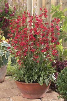 Penstemon barbatus Red Riding Hood Beard Tongue.  Pleasing colour choice...