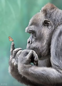 Gorilla holding butterfly, in awe.