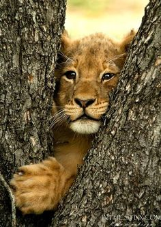 """Lion Cub: """"Can I squeeze through this fork of the tree?"""" (Lion Sands Private Game Reserve in South Africa. Photo By: Kyle de Nobrega of Ranger Diaries. Cute Baby Animals, Animals And Pets, Funny Animals, Wild Animals, Beautiful Cats, Animals Beautiful, Simply Beautiful, Gato Grande, Lion Cub"""