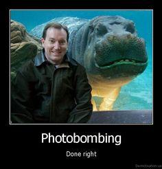 Photo bombing done right: Hippo photobombing