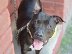 SAFE 8-12-2015 by All Breed Rescue, Vermont --- Brooklyn Center JESSE – A1042942 SPAYED FEMALE, BLACK, AM PIT BULL TER / BOSTON TERRIER, 2 yrs OWNER SUR – EVALUATE, NO HOLD Reason PERS PROB Intake condition EXAM REQ Intake Date 07/06/2015