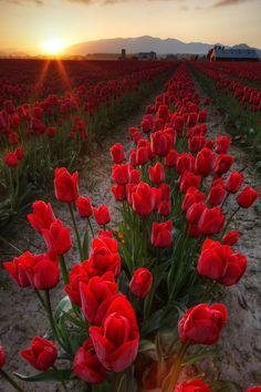 Rows of red tulips at sunrise, Skagit Valley, Mount Vernon, Washington ~ Photo by Brad Mitchell Tulip Fields, Red Tulips, Clematis, Beautiful World, Champs, Mother Nature, Planting Flowers, Beautiful Flowers, Sunrise