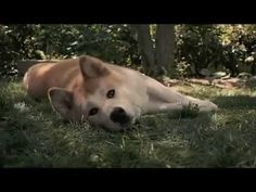 "This Short Tribute Story of a Dog Will Give you a Short Tear Drop from your eye.This Video Is Tribute to the dog name ""HACHIKO"" Hey, Check this out! Japanese Akita, Japanese Dogs, Hachi A Dogs Tale, Japanese Dog Breeds, A Dog's Tale, Dog Breed Info, Really Cute Puppies, Akita Dog, Loyal Dogs"