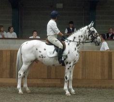 Knabstrupper Society GB Great Britain UK Knabstruppers for Sale, Knabstrupper News, UK Stallions at Stud KNN Daughter Organisation Mother Stud Book