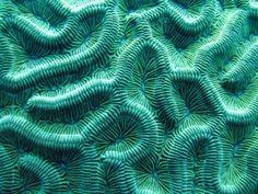 colpophylia natans