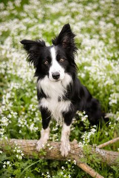 Country Border Collie in a Beautiful Field of White Wild Flowers.