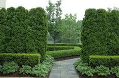 Arborvitae (Thuja occidentalis, zones 3 to 7) is a standby for hedges and windbreaks with its neat, symmetrical form and tightly packed need...