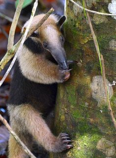 "A Termite hunting ""Tamandua"" (type of Anteater) in an Osa Peninsula rainforest. by One more shot Rog, via Flickr"